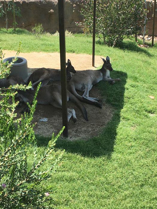Kangaroos Safari Park